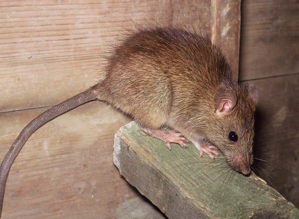São Paulo: especialistas estimam quantidade de ratos por habitantes