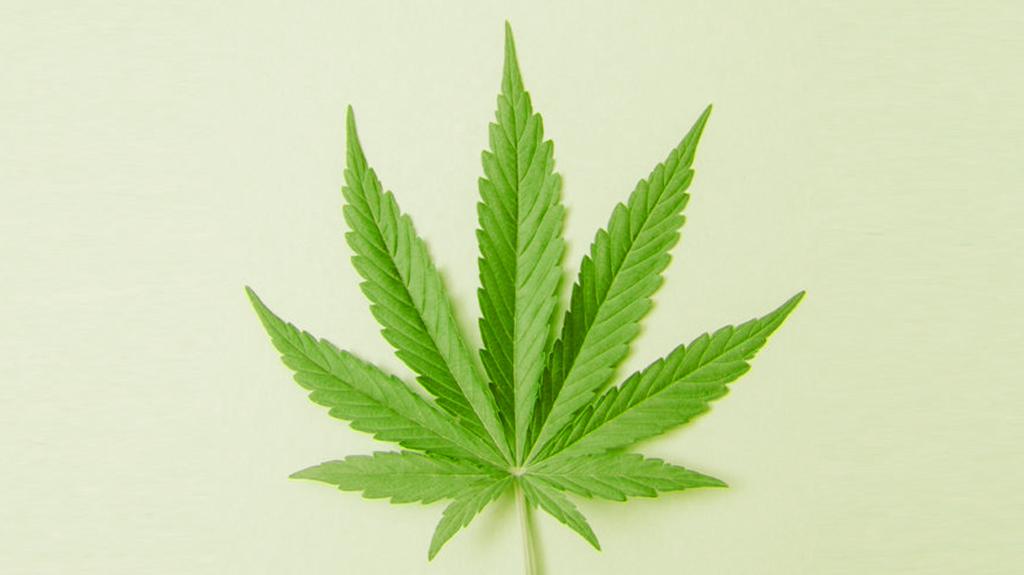 Cannabis Hibrida