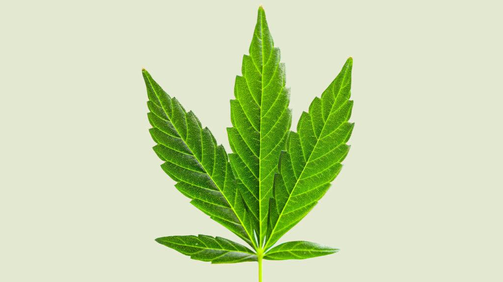 A Cannabis Ruderalis é o tipo de maconha menos conhecida e seus efeitos são leves.