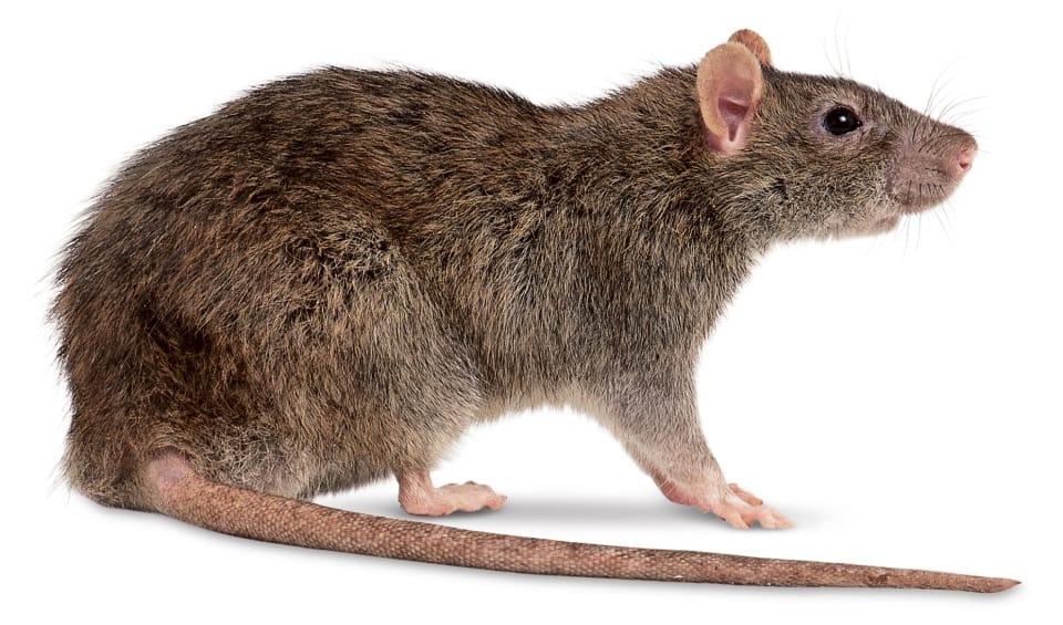 Invasão de Ratos em São Paulo