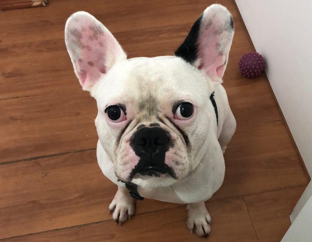 Bulldog francês branco e vesgo