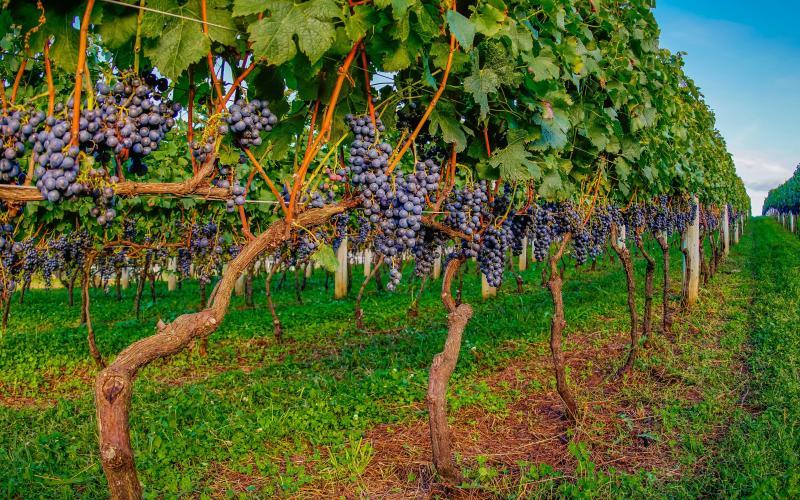 História do Vinho em Santa Catarina