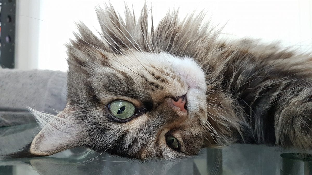 Carros elétricos podem ser um perigo aos gatos: entenda
