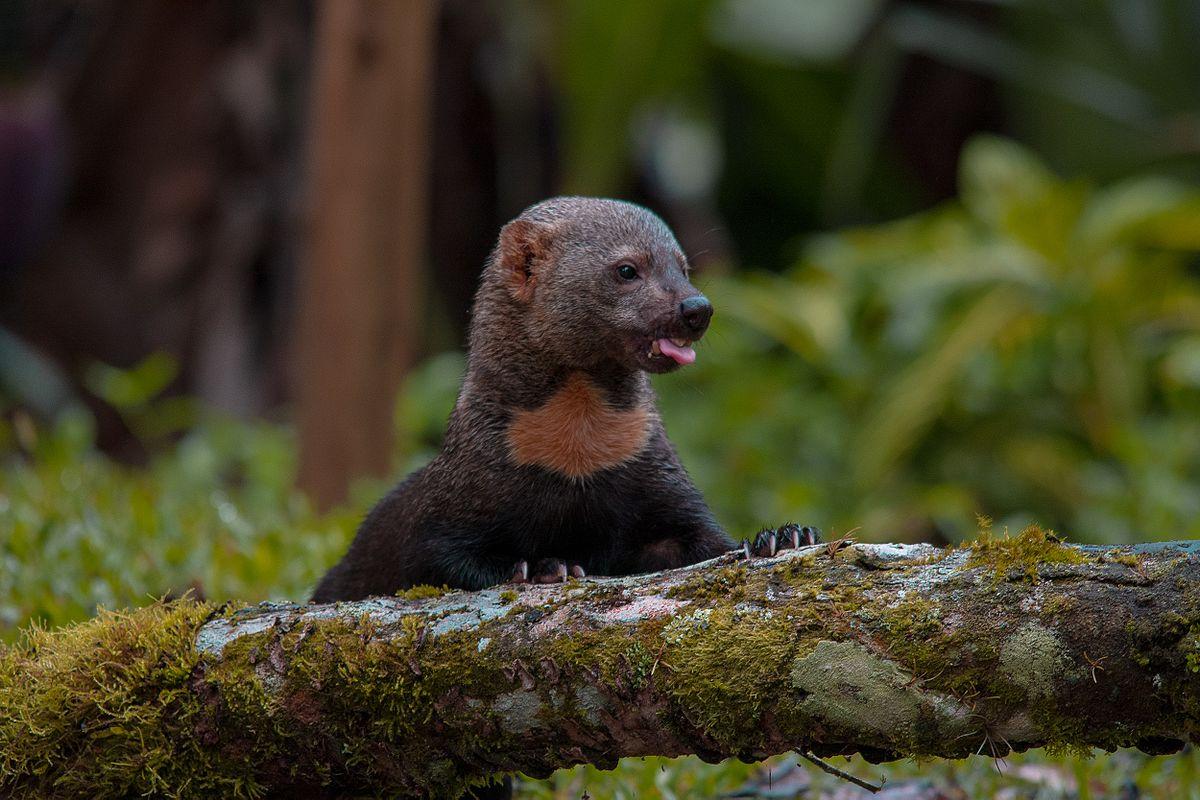Animais exóticos no Brasil