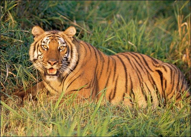 Tigre-do-Cáspio
