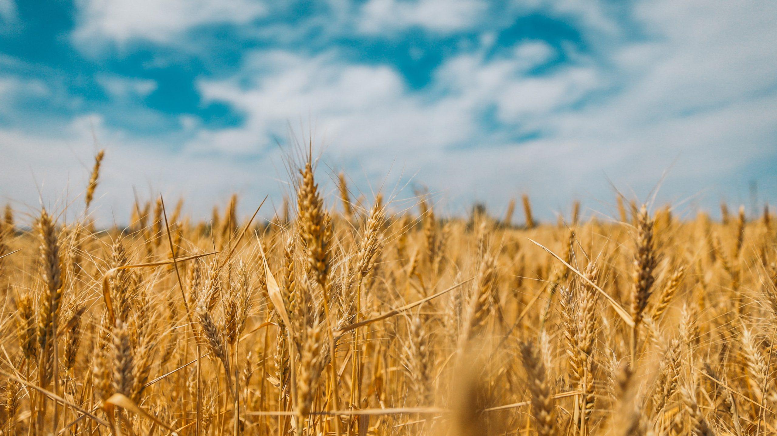 Você sabe a origem da farinha de trigo?