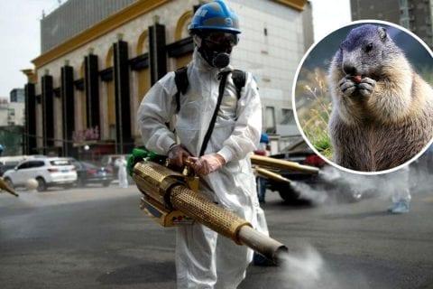 peste bubônica marmota