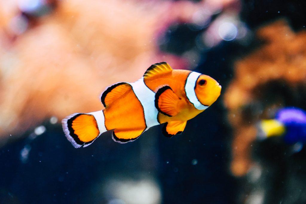 Por que ter um peixe de estimação?