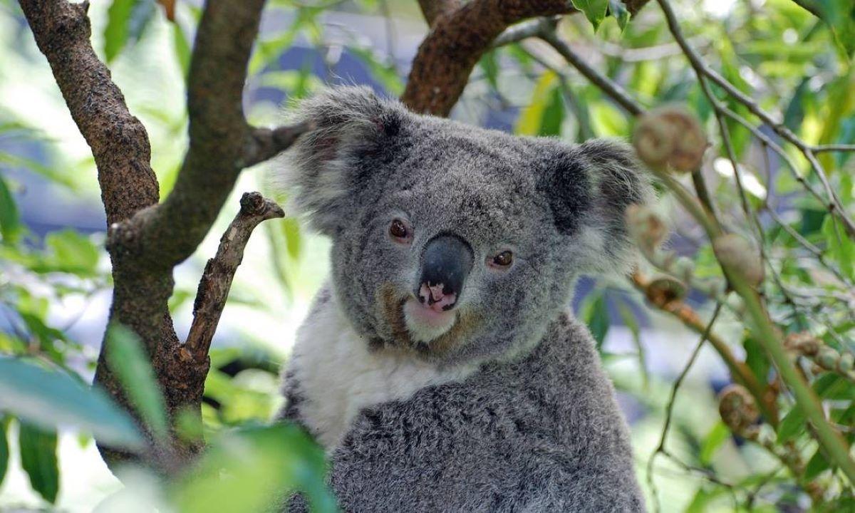 Os coalas estão funcionalmente extintos?