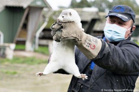Dinamarca decide abater milhões de visons, animais de criadouro que contraíram o COVID-19.