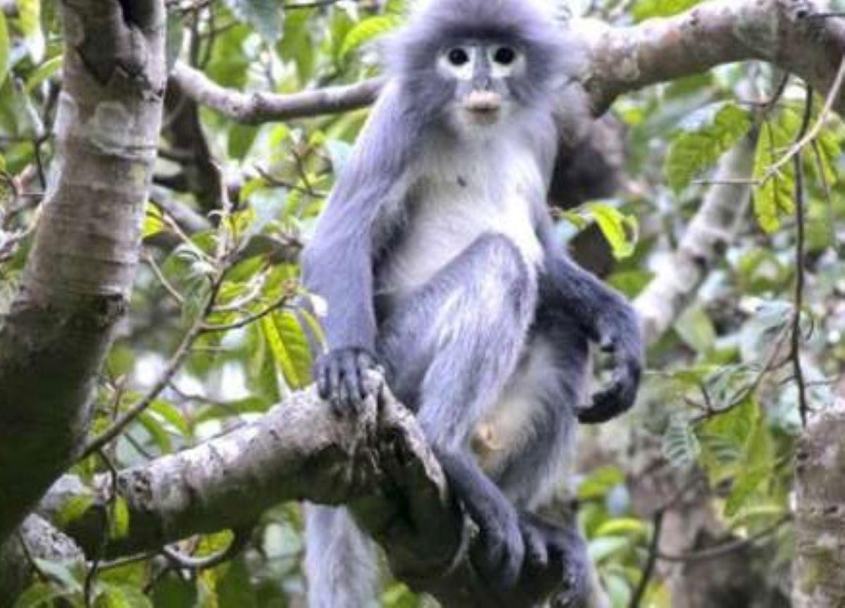 Veja tudo sobre a nova espécie de primata descoberta em Myanmar