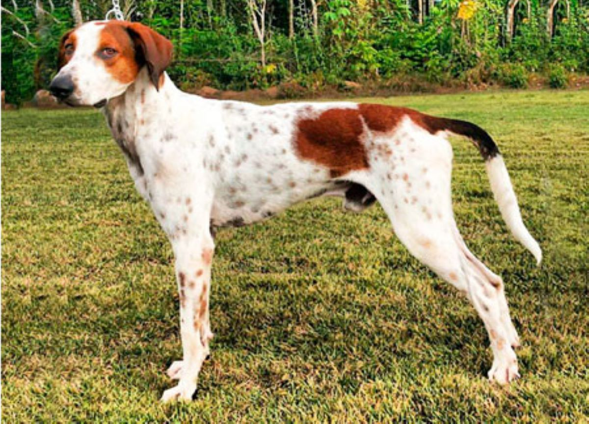 Confira cinco raças de cachorros que foram extintas