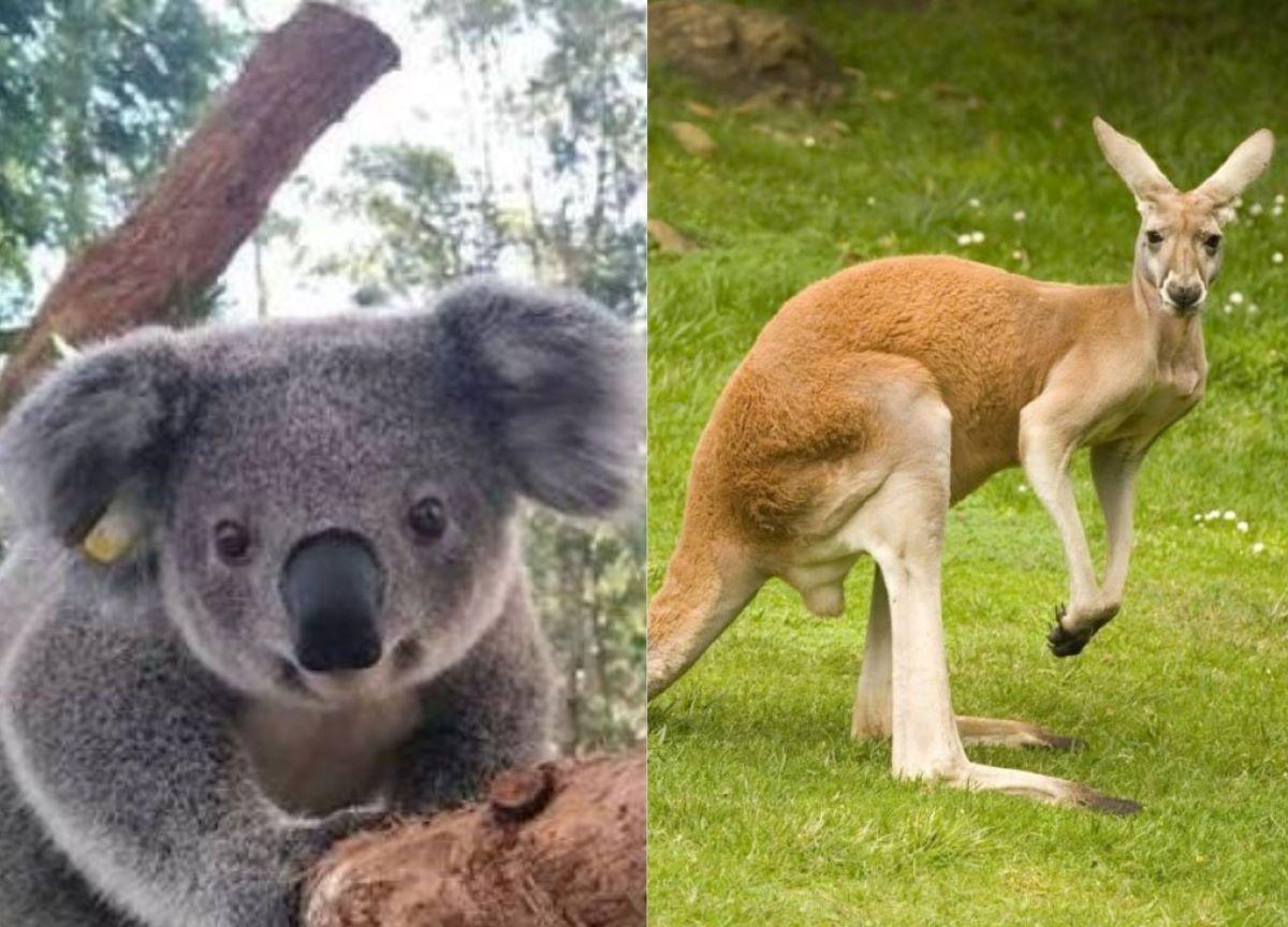 Austrália: 5 animais que só podem ser encontrados no país