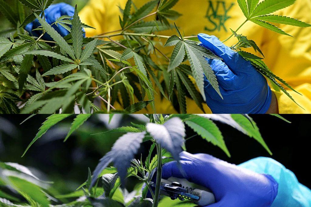 Saiba mais sobre o andamento da venda de medicamentos à base de Cannabis