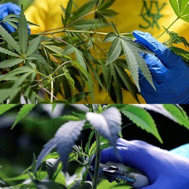 Saiba mais sobre o uso da Cannabis em fórmulas de medicamentos para o tratamento de doenças raras