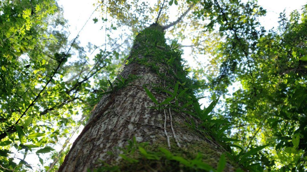 reflorestamento comercial de mogno