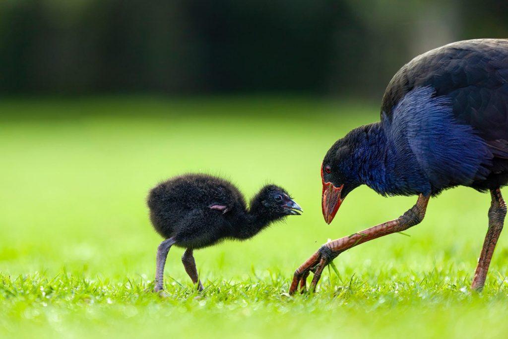 O pukeko é uma ave nativa das ilhas neozelandesas.